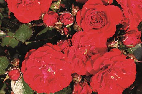 Beetrose 'Rose von Oldenburg' ® - Rosa 'Rose von Oldenburg' ®