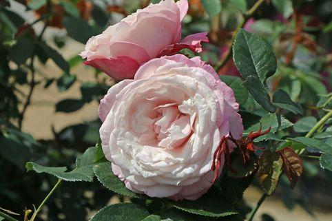 Beetrose 'Rosenfaszination' ® - Rosa 'Rosenfaszination' ®