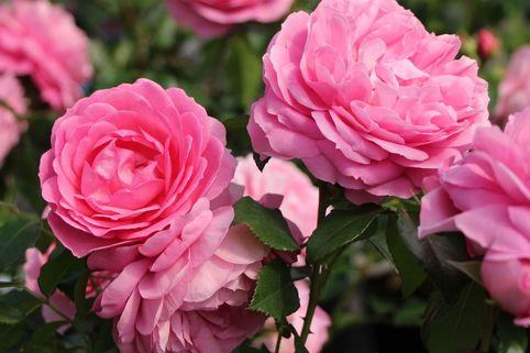 Beetrose 'Rosenfee' ® - Rosa 'Rosenfee' ®