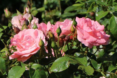 Beetrose 'Rosenprofessor Sieber' ® - Rosa 'Rosenprofessor Sieber' ®