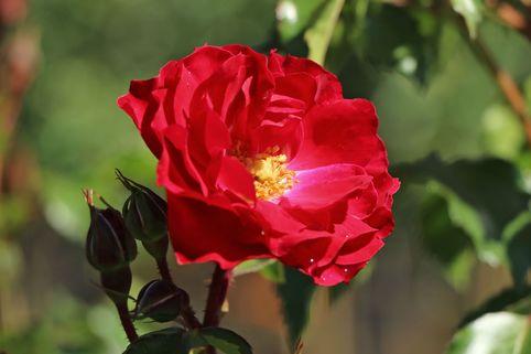 Beetrose 'Rotilia' ® - Rosa 'Rotilia' ®