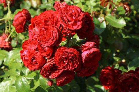 Beetrose 'Rotkäppchen' ® / Maranello Rose - Rosa 'Rotkäppchen' ® / Maranello Rose
