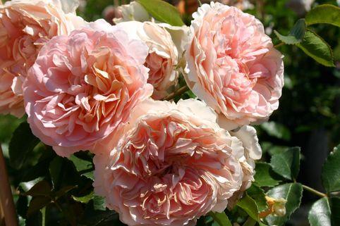 Beetrose 'Sangerhäuser Jubiläumsrose' ® / Cervia - Rosa 'Sangerhäuser Jubiläumsrose' ® / Cervia