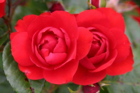 Beetrose 'Schloss Mannheim' ® - Rosa 'Schloss Mannheim' ®