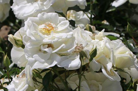 Beetrose 'Schneeflocke' ® - Rosa 'Schneeflocke' ®