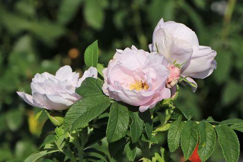 Beetrose 'Schneekoppe' - Rosa 'Schneekoppe'