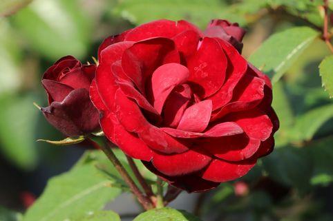 Beetrose 'Schwabenmädel' ® - Rosa 'Schwabenmädel' ®