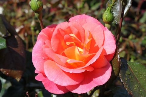 Beetrose 'Shanty' ® - Rosa 'Shanty' ®