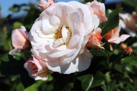 Beetrose 'Sirius' ® - Rosa 'Sirius' ® ADR-Rose