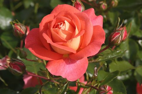 Beetrose 'Sommersonne' ® - Rosa 'Sommersonne' ® ADR-Rose