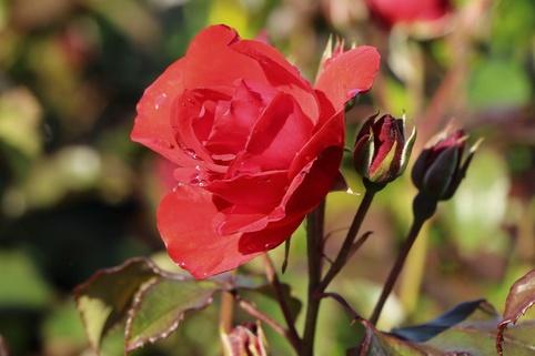 Beetrose 'Stadt Eltville' ® - Rosa 'Stadt Eltville' ®
