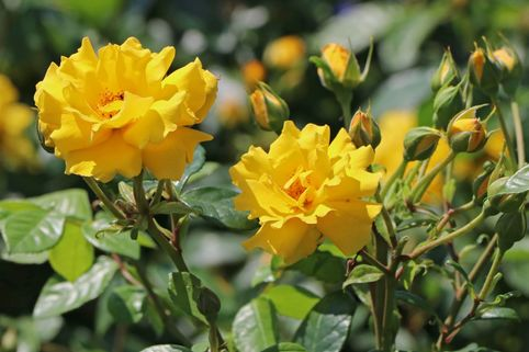 Beetrose 'Stuttgardia' ® - Rosa 'Stuttgardia' ®