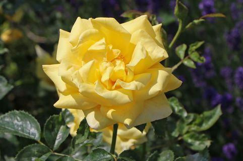 Beetrose 'Sunstar' ® - Rosa 'Sunstar' ® ADR-Rose