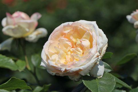 Beetrose 'Tchaikovski' ® - Rosa 'Tchaikovski' ®