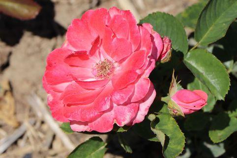 Beetrose 'Tip Top' ® - Rosa 'Tip Top' ®
