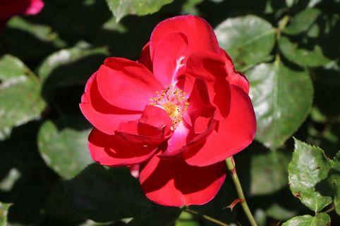 Beetrose 'Tornado' ® - Rosa 'Tornado' ®