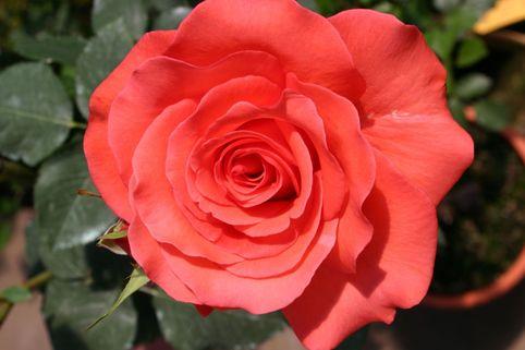 Beetrose 'Träumerei' ® - Rosa 'Träumerei' ®