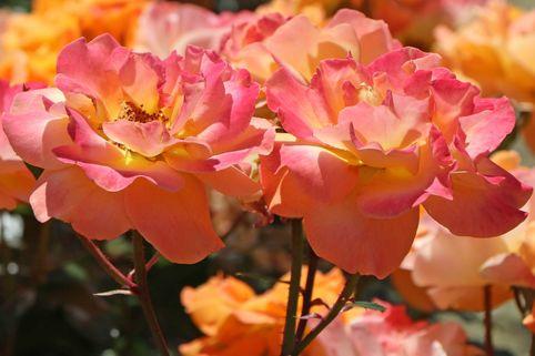Beetrose 'Westzeit' ® - Rosa 'Westzeit' ® ADR-Rose