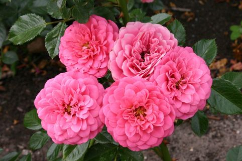 Beetrose, Zwergrose 'Amulett' ® - Rosa 'Amulett' ®