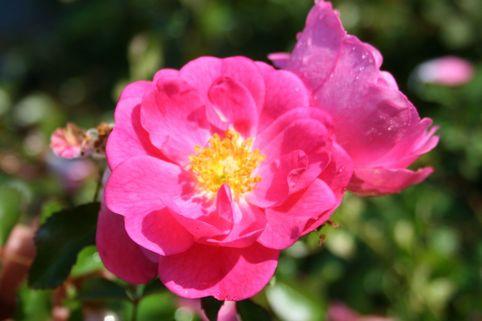 Beetrose / Bodendecker-Rose 'Neon' ® - Rosa 'Neon' ® ADR-Rose