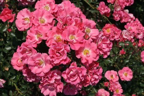 Beetrose/Bodendeckerrose 'Unicef-Rose' ® - Rosa 'Unicef-Rose' ® ADR-Rose
