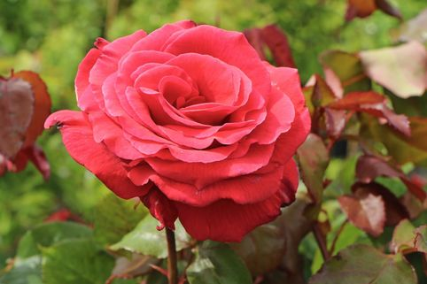 Beetrose/Edelrose 'Duftwolke' ® - Rosa 'Duftwolke' ®