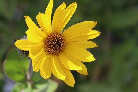 Behaarte Sonnenblume - Helianthus mollis