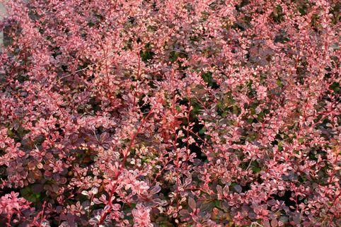 Berberitze 'Rose Glow' - Berberis thunbergii 'Rose Glow'
