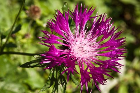 Berg Flockenblume 'Violetta' - Centaurea montana 'Violetta'