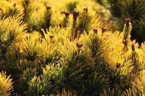Berg-Kiefer 'Wintersonne' - Pinus mugo 'Wintersonne'