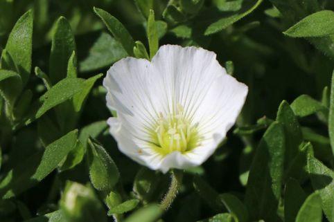 Berg-Sandkraut 'Summer White' - Arenaria montana 'Summer White'