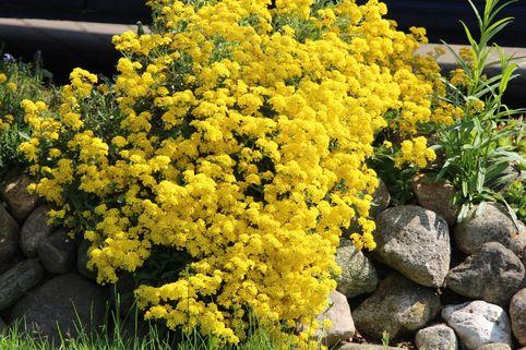 Berg-Steinkraut 'Berggold' - Alyssum montanum 'Berggold'