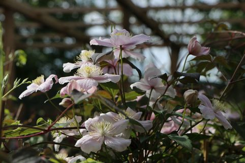 Berg-Waldrebe 'Mayleen' - Clematis montana 'Mayleen'