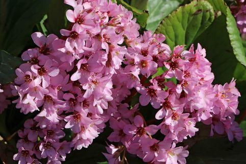 Bergenie 'Herbstblüte' - Bergenia cordifolia 'Herbstblüte'