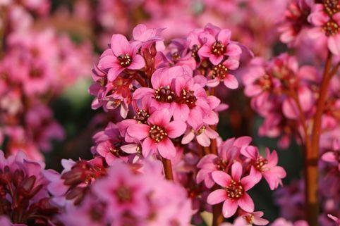 Bergenie 'Pink Dragonfly' - Bergenia cordifolia 'Pink Dragonfly'