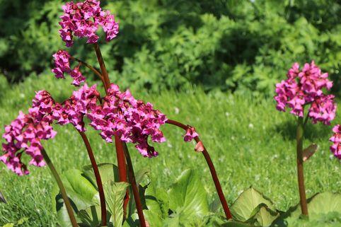 Bergenie 'Pinneberg' - Bergenia cordifolia 'Pinneberg'