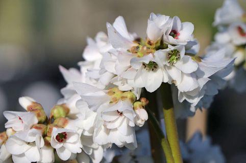 Bergenie 'Schneekönigin' - Bergenia cordifolia 'Schneekönigin'