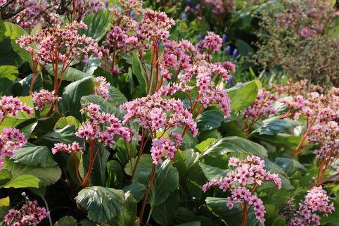Bergenie 'Vorfrühling' - Bergenia cordifolia 'Vorfrühling'