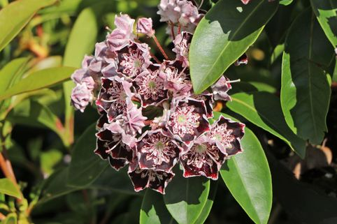 Berglorbeer / Breitblättrige Lorbeerrose 'Sterntaler' - Kalmia latifolia 'Sterntaler'