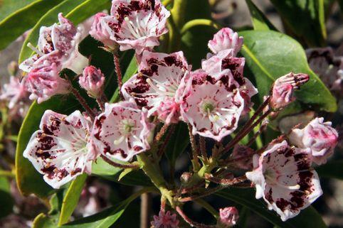 Berglorbeer / Lorbeerrose 'Corona' - Kalmia latifolia 'Corona'