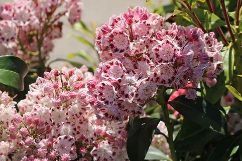Berglorbeer / Lorbeerrose 'Ginkona' - Kalmia latifolia 'Ginkona'