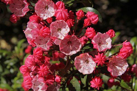 Berglorbeer / Lorbeerrose 'Little Linda' - Kalmia latifolia var. myrtifolia 'Little Linda'
