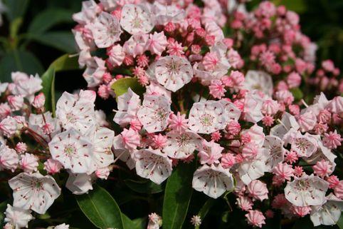 Berglorbeer / Lorbeerrose - Kalmia latifolia