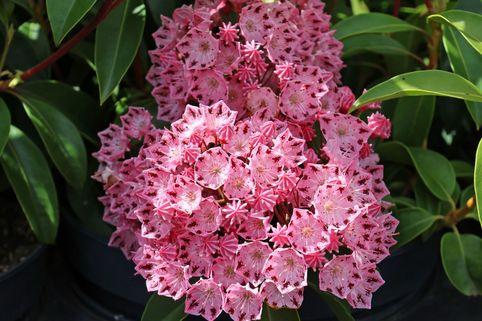 Berglorbeer / Lorbeerrose 'Moyland' - Kalmia latifolia var. myrtifolia 'Moyland'