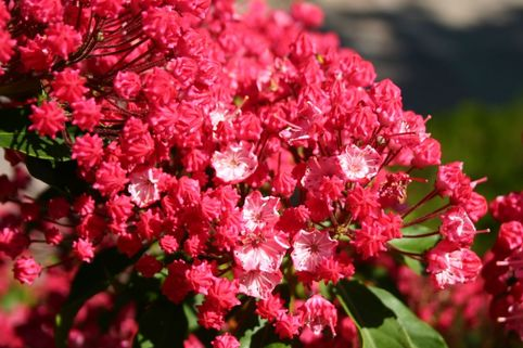 Berglorbeer / Lorbeerrose 'Ostbo Red' - Kalmia latifolia 'Ostbo Red'