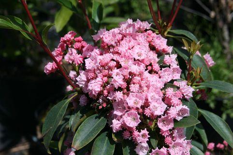 Berglorbeer / Lorbeerrose 'Pink Charme' - Kalmia latifolia 'Pink Charme'