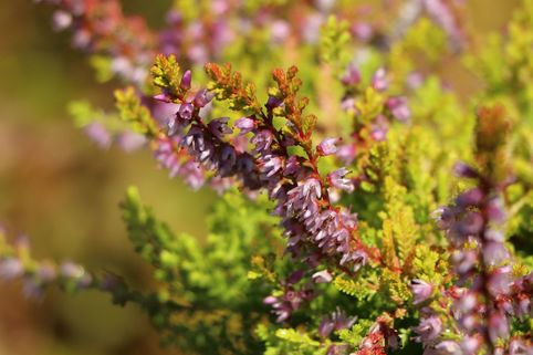 Besenheide 'Orange Queen' - Calluna vulgaris 'Orange Queen'