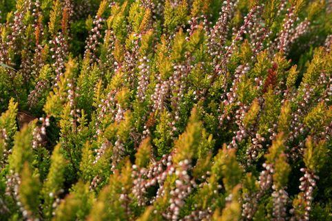 Besenheide 'Sesam' - Calluna vulgaris 'Sesam'