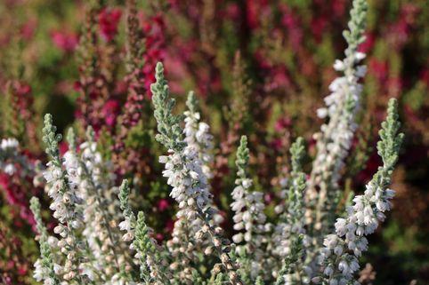 Besenheide / Sommerheide 'Beoley Silver' - Calluna vulgaris 'Beoley Silver'