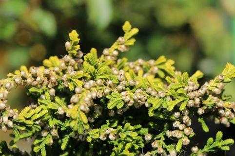 Besenheide 'Sonnenzwerg' - Calluna vulgaris 'Sonnenzwerg'